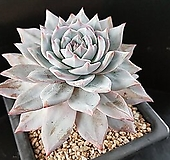 1255.파랑새|Echeveria Blue bird