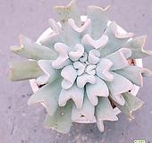 특엽옥접|Echeveria runyonii TopsyTurvy