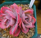 핑키15|Echeveria cv Pinky