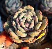 성영 590123|Echeveria elegans Potosina