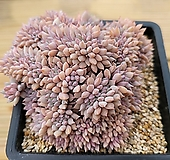 자가로즈 철화 (흙털때분리될수있어 분채배송)|Echeveria Tippy