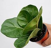 플로스토어 떡갈고무나무 소품 특급 028|