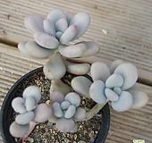 아메치스 0121-13|Graptopetalum amethystinum