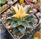 모노케로티스금 Echeveria Monocerotis