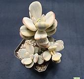 묵은방울복랑수박금|Cotyledon orbiculata cv