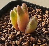 conophytum marginatum haramoepense 코노피튬 마지나튬 카라모에펜스 Conophytum