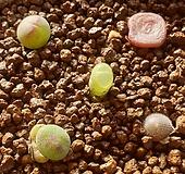 conophytum cubicum, bilobum, ernstii, stephanii helmutii, praesectum 코노피튬 빌로붐 큐비쿰 언스티 프레이섹튬 스테파니 헬뮤티 실생 모듬 Conophytum