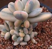 방울복랑금0123|Cotyledon orbiculata cv variegated