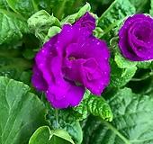 파로마앵초/장미앵초5색세트|