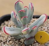 원종복랑금 |Cotyledon orbiculata cv variegated