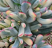 원종복랑금  자구15개이상|Cotyledon orbiculata cv variegated