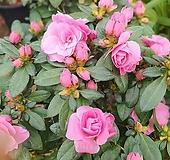 [도희씨네 정원] 장미꽃을 닮은 장미철쭉 립불 330|