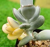 방울복랑금 0121-103|Cotyledon orbiculata cv variegated