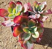 레인보우썬셋|Echeveria rainbow
