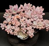 大-묵은 오팔리나철화(1.24) Graptoveria Opalina