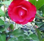 꽃분홍동백꽃나무 공기정화|