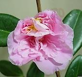 소안운용천중동백7번-핑크색의 겹꽃-용트림줄기-희귀종-동일품배송|