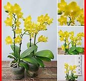 꽃과나무 ] 미니 호접란 / 팔레놉시스 / 노랑꽃 / 봄꽃 / 반양지식물 / 최저13도 / 지중해연안|