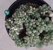 익스펙트리아철화금_96|Cremneria Expatriata f cristata