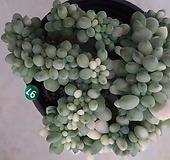 익스펙트리아철화금_97|Cremneria Expatriata f cristata