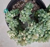 익스펙트리아철화금_98|Cremneria Expatriata f cristata