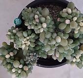 익스펙트리아철화금_100|Cremneria Expatriata f cristata