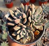 오팔리나 540126 Graptoveria Opalina