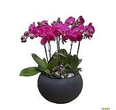 호접란 고급폴리화분 대품 병원식물 인테리어화분 서양란 DLP-267|