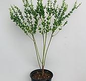 삼각잎 아카시아 / 동일품배송/ 높이 95 너비65|
