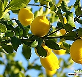 사계성 레몬 유레카 신품종 외목수형/레몬트리 레몬나무/시트러스|