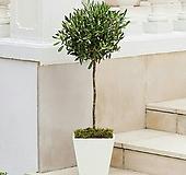 유럽산 올리브나무 외목수형 스탠다드 타입/토피어리 롤리팝 볼타입 참감람나무|
