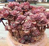 꿀목대 멋진군생 묵둥이 수연금 왕대품-125 Echeveria Suyon
