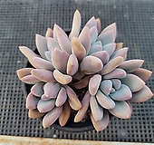 오팔리나  한몸 Graptoveria Opalina