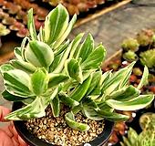 칼라염좌 백금|variegated