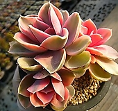 웨스트레인보우0127|Echeveria rainbow