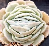묵은 멕시코로즈 1-742|Echeveria Mexico Rose