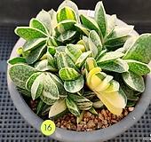 자보금|Gasteria gracilis