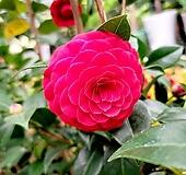 김규리플라워/ 예쁜 빨간꽃이 피는 동백|