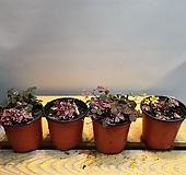 플럼크레이지 사랑초 ( 재입고) 잎이 물이 들면 성장이 멈추고 새순이 나오면 성장되지요 |