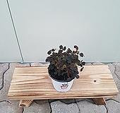 쿠퍼글로우 사랑초(소품)|