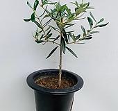 올리브나무 / 동일품배송/ 높이 50 너비 30|