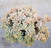 묵둥이 익스펙트리아철화-173|Cremneria Expatriata f cristata