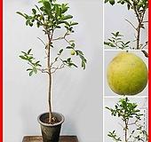 꽃과나무 ] 대왕구아바나무 / 생명살리는나무 / 유실수 / 양지식물 / 최저온도 5도 / 남미산|