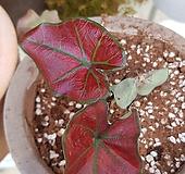 칼라데아spp(수입식물) 레드 새로입고 