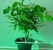신종녹보수3번-공기정화식물-동일품배송|Sedum dendroideum