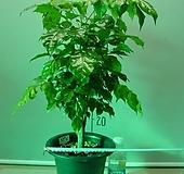 신종녹보수4번-공기정화식물-동일품배송|Sedum dendroideum