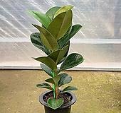 (싹쓰리식물원) 인도고무나무-묘목|