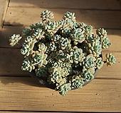 라울 왕목대 0209-36|Sedum Clavatum