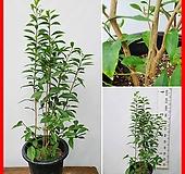 꽃과나무 ] 브론펠시아 자스민 / 목본류 / 봄,여름개화 / 향기 / 반양지식물 / 최저옫도7도 / 중남미|