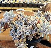 익스펙트리아철화 2-0292|Cremneria Expatriata f cristata